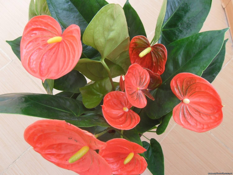 Цветок антуриум фото уход за ними